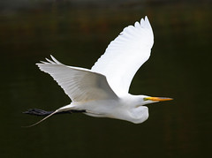 White Flight  [Explored] (soccersc(Jim Allen)) Tags: bird birds wildlife ngc explore charlestonsc interiordesign waders herons egrets birdwatcher summervillesc wildlifeart wildlifephotography explored specanimal fineartprints soccersc lakeashborough mygearandme mygearandmepremium mygearandmebronze mygearandmesilver mygearandmegold mygearandmeplatinum photographyforrecreation naturallyjimallen