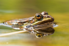 Big Eye (Emyan) Tags: portrait lake reflection green eye animals spring frog reptiles