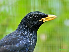 Blue Whistling Thrush (Ric Seet) Tags: park blue bird singapore jurong thrush e5 whistling oly150f2