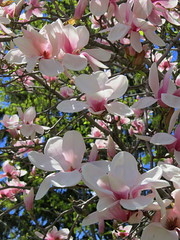 IMG_2120-001 (quirkyjazz) Tags: trees clouds spring lookingup magnolias blueskky