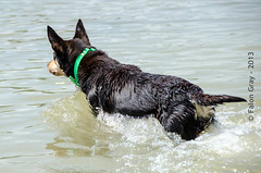 Limit Swims 2013-05-21-24 (falon_167) Tags: dog australian limit kelpie australiankelpie