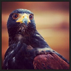 This is a #HarrisHawk and its a very photogenic #birdofprey this shot was taken at the International Centre for Birds of Prey #ICBP (needlemind photography) Tags: square squareformat birdofprey harrishawk icbp iphoneography instagramapp xproii