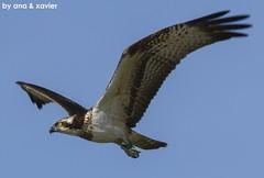 Águia-pesqueira, Osprey (Pandion haliaetus) - em Liberdade [in Wild] (Nuno Xavier Moreira) Tags: xavier nuno osprey pandionhaliaetus lopes moreira hf2 águiapesqueira ospreypandionhaliaetusemliberdadeinwild