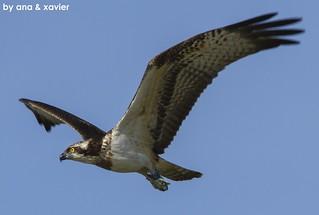Águia-pesqueira, Osprey (Pandion haliaetus) - em Liberdade [in Wild]