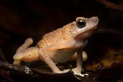 Slender Toad (antonsrkn) Tags: wild macro nature amphibian frog toad malaysia borneo sabah herp danum ansonia anura danumvalley dvfc anuran dvca ansonialeptopus brownslendertoad slendertoad