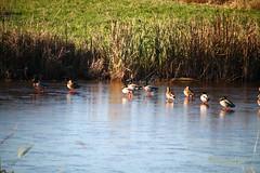 2014 Nov 14 Serpentine Fen 0441 (digitalmarbles) Tags: canada ice nature animal duck bc britishcolumbia wildlife ducks waterfowl birder surreybc birdphoto