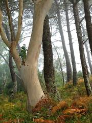 Islas Cies (danielodyssey (fujilover)) Tags: islas cies eucalyptus forest wood woods trees