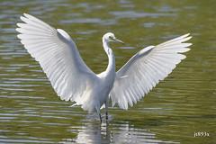 Snowy Egret (jt893x) Tags: 150600mm bird d500 egret egrettathula heron jt893x nikon nikond500 sigma sigma150600mmf563dgoshsms snowyegret specanimal