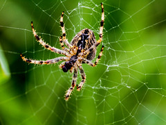 spider is coming to get you (PDKImages) Tags: spider spiders webs macro beauty silhouettes legs creepy danger feeding striped pounce nature