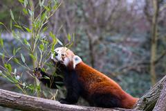 Red panda (Cloudtail the Snow Leopard) Tags: feuerfuchs zoo karlsruhe tier animal mammal sugetier roter kleiner red panda katzenbr brenkatze goldhund ailurus fulgens eat eating