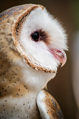 Profile of a Barn Owl 3-0 F LR 8-14-16 J095 (sunspotimages) Tags: owls owl barnowl nature birds bird wildlife