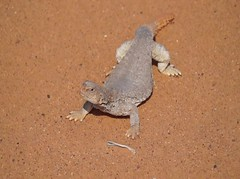 #_ ## # # # ## # # ## ##sonyalpha# # # # #video# ##Lizard #lizards #reptiles #dinosaur #dinosaurs#animal #animals# # (photography AbdullahAlSaeed) Tags:   dinosaurs video   reptiles  animal  lizard lizards    dinosaur          sonyalpha animals
