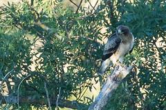 Aigle bott (m-idre31) Tags: oiseau bird hautaragon loarre aiglebott