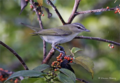 Red-eyed Vireo (Kevin B Photo) Tags: kevinbarry redeyedvireo adbarnespark miamiflorida bird beautiful small autumn fall south feeding berries trema horizontal daytime