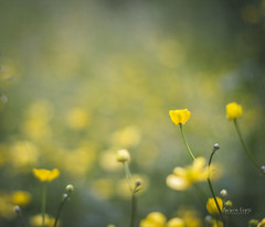 (Lucrecia Carosi) Tags: amarillo yellow flores flowers magic ushuaia tierradelfuego naturaleza belleza verde green soft dof 50mm canon airelibre bosque sur patagonia naf