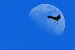 Cigogne blanche (Yves.Henchoz) Tags: oiseaux plumes libert lune