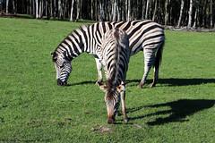 Plains zebra (Rick & Bart) Tags: mondesauvage plainszebra zebra equusquagga commonzebra steppezebra animal aywaille zoo safari belgique belgie rickvink rickbart canon eos70d gnneniyisi thebestofday