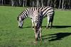 Plains zebra (Rick & Bart) Tags: mondesauvage plainszebra zebra equusquagga commonzebra steppezebra animal aywaille zoo safari belgique belgie rickvink rickbart canon eos70d gününeniyisi thebestofday