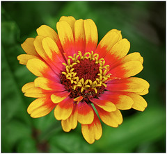 (melolou) Tags: flower nature zinnia macro petal colors