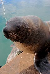 Seal in Cape Town (alina gnerre) Tags: seal foca cape town citt del capo sudafrica south africa animal sweet