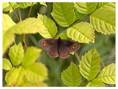 DS0D4662-Scotch-Argus,-erebia-aethiops (duncancooke.happydayz) Tags: scotch argus erebia aethiops butterflies butterfly cumbria cumbrian british wildlife macrolifle macrolife macro canon 100 smardale gill trust