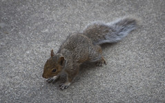 Baby Squirrel (Life_After_Death - Shannon Day) Tags: canon canoneos canoneos50d 50d eos dslr canondslr eosdslr canoneos50ddslr photography lifeafterdeath lifeafterdeathstudios lifeafterdeathphotography shannonday shannondayphotography shannondaylifeafterdeath lifeafterdeathstudiosartandphotography shannondayartandphotography animal baby young squirrel adventure concrete run sweet precious wild litter