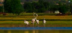 Greater Flamingo (S.M. Ali Javed) Tags: greater flamingo wwf nature natural canon birds watch ali javed shah discovry natgeo pakistan birdsofpakistan 7d 400mm fight love wallpaper wildlife wildbird