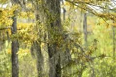 Grey moss (holdit.) Tags: tx texas visitorcenter swamp nature natural
