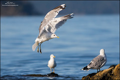 Mew Gulls (lironsnaturephotography.com) Tags: mewgull laruscanus gull gulls seagull seagulls seabird seabirds sea seas ocean oceans water waters rock tide tides flight flying sidney victoria bc britishcolumbia canada capital rocks bird birds birding birdphotography birdwatching nature naturephotography natural wild wildlife wildlifephotography animals animal lironsnaturephotographycom canonef400mmf56lusm canon canon7dmarkii canoneos7dmarkii 7dmarkii 400mm light action shutterspeed dinghy