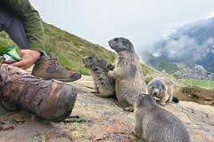 die Murmeltiere (welenna) Tags: alpen alps animals tiere switzerland schwitzerland saasfee wallis wild murmeltier marmot