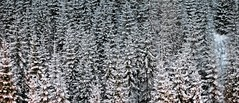 Forest in Winter (David K. Marti) Tags: night nocturnal trees pine pinetree landscape plant widescreen snow season seasonal winter scenic scenery nature natural cold detail light shadow outdoors outdoor outside country countryside black white mono monotone monochrome snowy alps alpine travel europe european forest woods fir