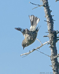 Yellow-rumped Warbler (jaybirding) Tags: animal bird leicavlux114 maine me nature outdoor stormer lubec us