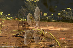 Happy Labour Day (rdroniuk) Tags: insects dragonflies dragonfliesofontario darners commongreendarner darnerlayingeggs anaxjunius commongreendarnerfemale insectes libellules lanaxprécoce