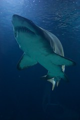 Tiburones en Oceanografic (goossi) Tags: tiburn oceanografic