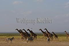 10076044 (wolfgangkaehler) Tags: 2016africa african eastafrica eastafrican kenya kenyan amboseli amboselikenya amboselinatlparkkenya amboselinationalpark wildlife mammal giraffe giraffes giraffacamelopardalistippelskirchi herd tower group burchellszebra burchellszebraequusquagga burchellszebras running galloping
