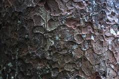 Waipuoa Forest Kauri Trees-3-3