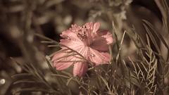 Faded (oliko2) Tags: flower faded dof bokeh waterdrop plants nikond7100 35mm nature summer