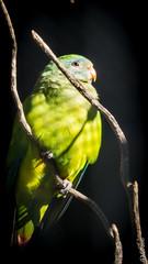 P1150288 (Pursuedbybear) Tags: tarongazoo sydney sydney2016 birds parrot