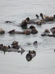 Sea Otters at Moss Landing (DannyRed55) Tags: sea seaotter otters moss landing monterey california water mammal animal