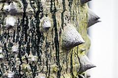 Chorisia speciosa (bignoniaceae) (ipomar47) Tags: botanica flora botany planta plant naturaleza nature vegetal tronco trunk bokeh macro closeup pentax k3ii invernadero palacio cristal arganzuela matadero madrid espaa spain palaciodecristaldearganzuela invernaderodearganzuela paloborracho arbolbotella toborochi arboldelalana palorosado samohu silkflosstree ceiba chorisia speciosa bignoniaceae
