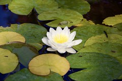 (NataliaZapata) Tags: loto flordeloto lotusflower plant waterplant pozo lotus flower whiteflower