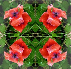 2016-10-12 symetrical poppies (april-mo) Tags: symmetrical symmetry poppies coquelicots wildflowers redpoppy redflower
