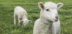 Lambs (Arcus Cloud) Tags: eatinggrass eating greengrass green grass animalportrait australia nsw adaminiby wolly babyfarmanimals farmanimals babysheep sheep wool babies babyanimals baby cute lambs lamb animal