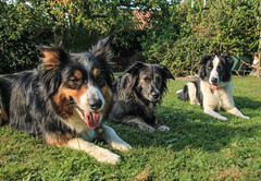 Holiday Guest (sharongellyroo) Tags: bordercollie ki colliecross dodge dogs fudge home garden glemsford suffolk