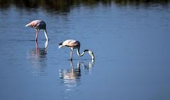 Flamingos (ibzsierra) Tags: ibiza eivissa baleares canon 7d 2100400 is usm flamenco flamingo ave borid oiseau salinas parque natural