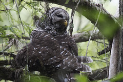 Barred Owl (DFChurch) Tags: barred owl grooming corkscrew swamp feather bird nature wild strixvaria florida