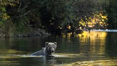 Blue Steel (rishaisomphotography) Tags: 2ndyear bearcub grizzly brownbear kodiak alaska river water bathing hair fur wet wild wildlifephotography naturephotographer animal mammal carnivore apexpredator