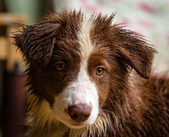 Is it Raining Tali (asheers) Tags: tali bordercollie puppy pup young cute wet rain eyes brown red catchlight dog sheepdog collie