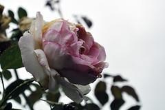 Mit Trnen, der Herbst ist da. (borntobewild1946) Tags: herbst nrw nordrheinwestfalen copyrightbyberndloosborntobewild1946 rose trnen tropfen wassertropfen blte blossom tears rosen regentropfen raindrops welken verwelkt verblht