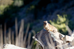 Dassie Sitting on a Rock - Rock hyrax (charissadescande) Tags: africa rock portrait color capensis cute mammal western south brown animal augrabies wild ocean rodent african relaxation dassie hyraxes hair falls procavia nature basking table closeup image mountain hyrax hairy one cape town serengeti provavia travel fauna hermanus wildlife safari furry fur hamster colorful park family life small detail
